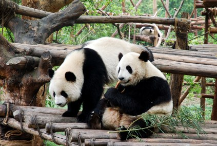KINA: Chengdu – grad divovskih pandi koji proizvede svaki drugi iPhone Chengdu je grad panda
