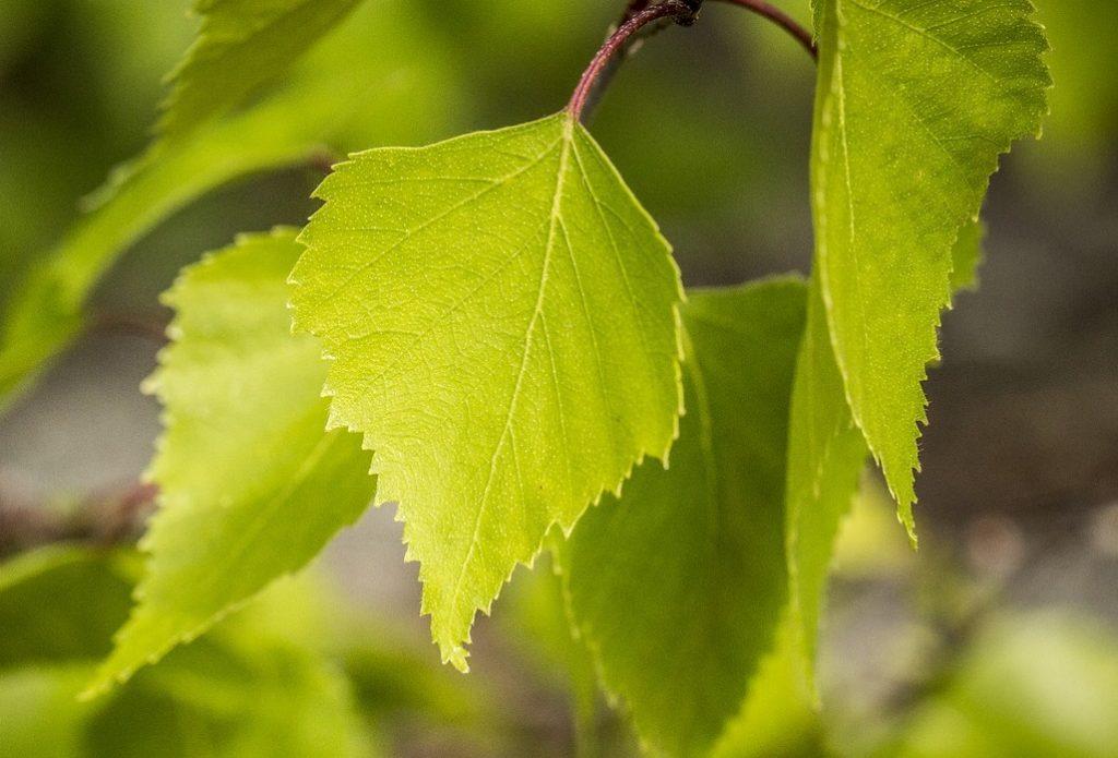BREZA: Uklanja kamence, snižava šećer, detoksicira i otapa celulit list breza