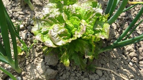 U POVRTNJAKU: Koje su vrste dobri susjedi – zaštitnici salata luk web