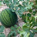 Kako uzgojiti dinje i lubenice