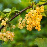 RIBIZL: Recepti za marmeladu, žele, sirup i kolače