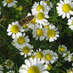 KAMILICA: Čudesna biljka za smirenje bolova, upala i živaca